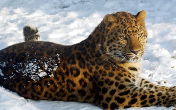 Благодарность команде сайта cabinetadmina.ru - amur-leopard.jpg